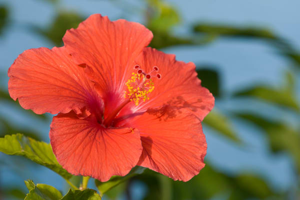Grand Bahama Island, The Bahamas; a large red hibiscus flower with blue water in the background