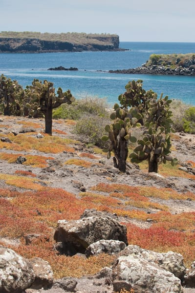South Plazas Island, Galapagos, Ecuador; looking down from the top of South Plazas Island past Prickly Pear Cactus (Opuntia Cactaceae) and orange colored, ground covering succulents towards the water and North Plazas Island