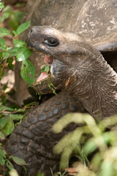Rancho Primicias, Santa Cruz Island, Galapagos, Ecuador; a Galapagos Giant Tortoise (Geochelone elephantopus) feeding on vegetation, Rancho Primicias is a working farm that allows tourists to view Galapagos Giant Tortoise (Geochelone elephantopus) li
