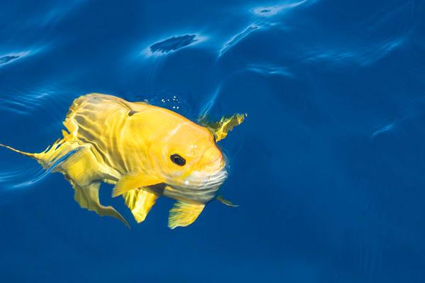 The Boiler dive site, San Benedicto Island, Revillagigedos Islands, Mexico; Socorro Chub (Kyphosus lutescens), yellow