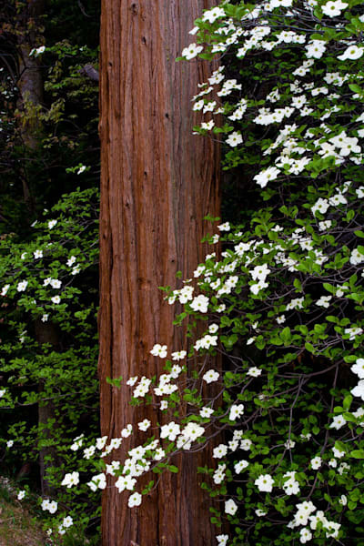 Dogwood and Cedar