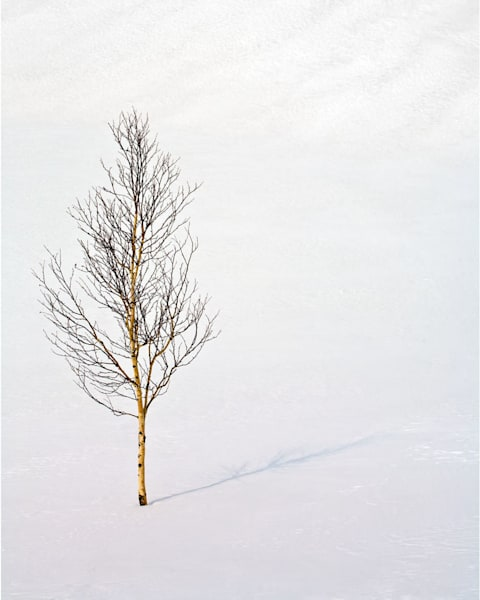 Siberia Birch Art | Scott Cordner Photography