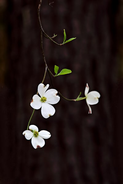 0861 Dogwood Art | Cunningham Gallery