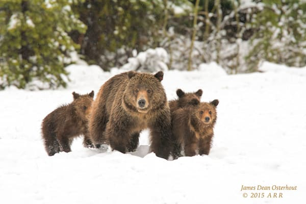 Grizzly Bear And Cubs Photography Art | Swan Valley Photo