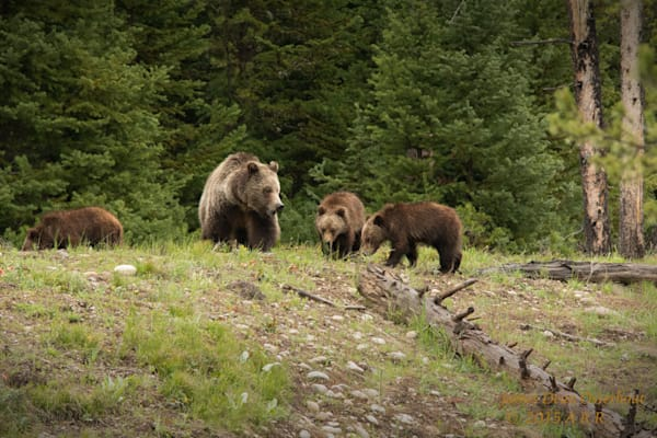 Spring Grizzly Cubs