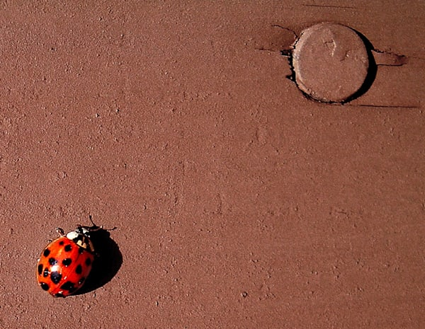 lady bug close up
