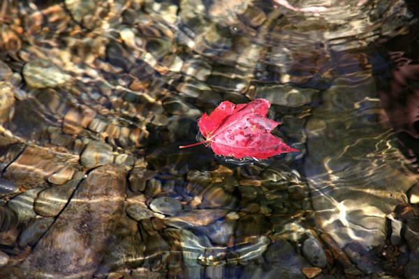 red leaf sun ripples