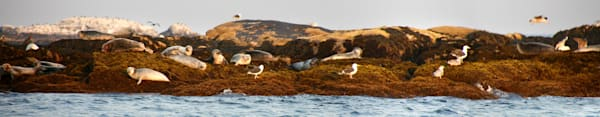 seals on rocks salvages rockport panorama