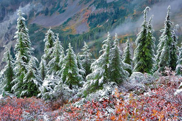 Flocked Hemlock Trees Art | Fine Art New Mexico
