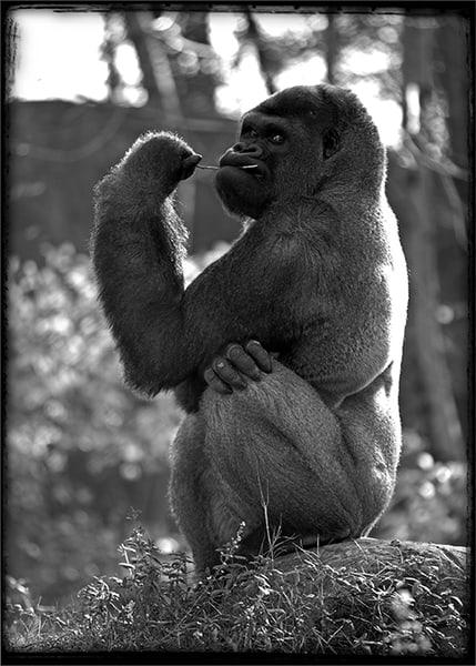 Gorilla Photography Art | Robert Jones Photography