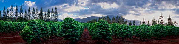 Hawaii Photography  |  Haleiwa Coffee Plantation by Douglas Page