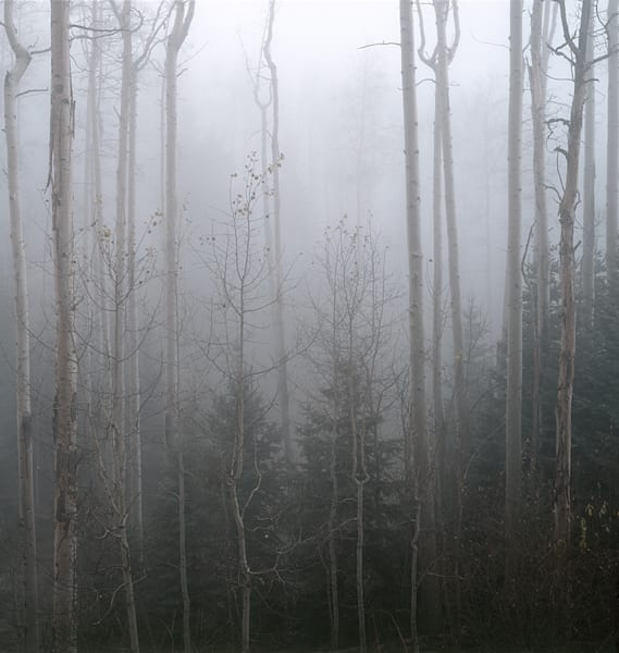 Aspens And Fog