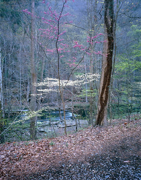 Dogwood And Redbud