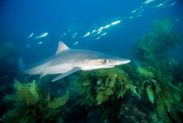 Soupfin Shark (Galeorhinus galeus)