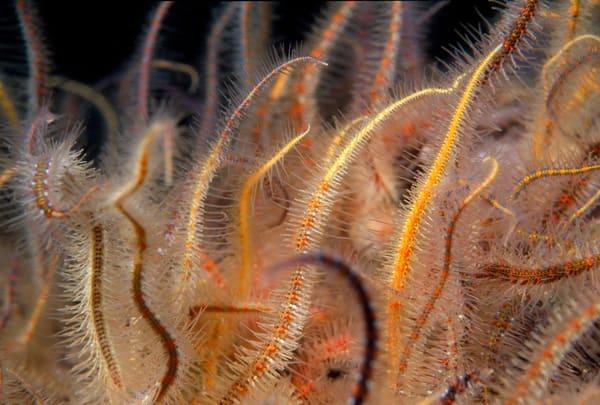 Western Spiny Brittle Star (Ophiothrix spiculata)
