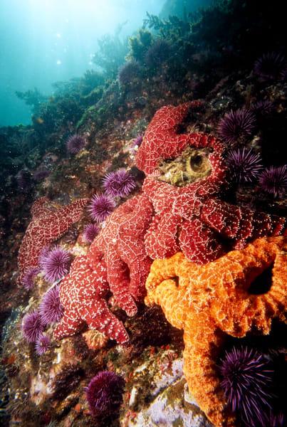 Ochre Sea Star (Pisaster ochraceus)
