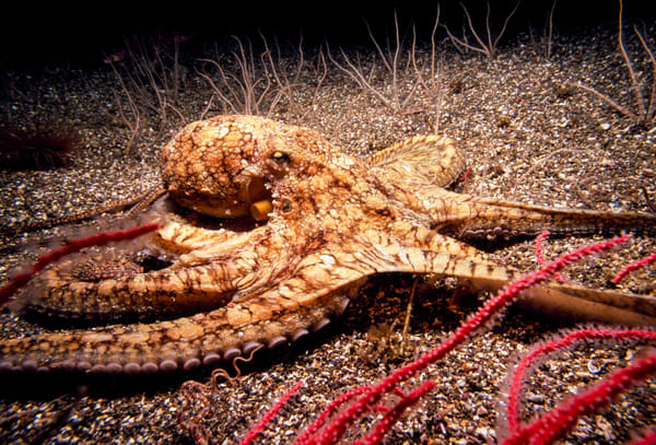 Two-spotted Octopus (Octopus bimaculatus)