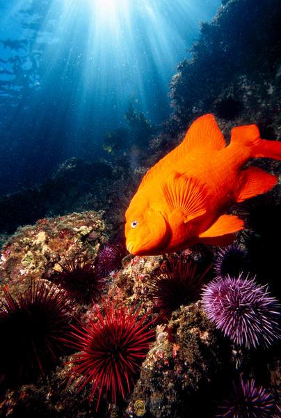 Garibaldi (Hypsypops rubicundus), Purple Sea Urchins (Strongylocentrotus purpuratus) and Red Sea Urchins (Strongylocentrotus franciscanus) with sun rays