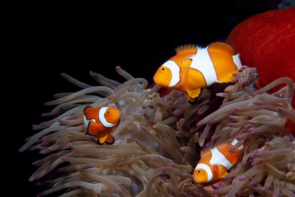 Clown Anemonefish (Amphiprion percula)