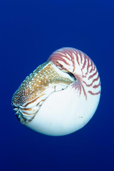 Chambered Nautilus, (Nautilus pompilius)