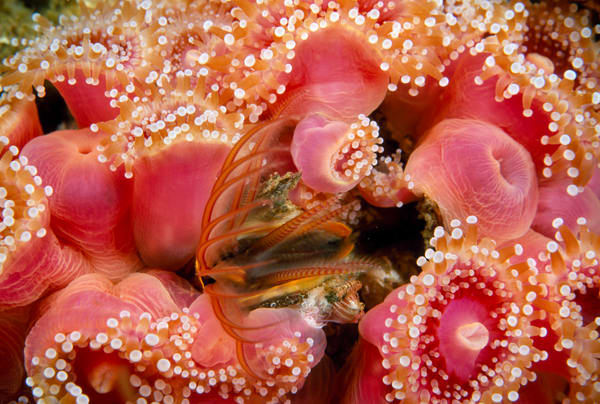 Club-tipped Anemone (Corynactis californica) and barnacle