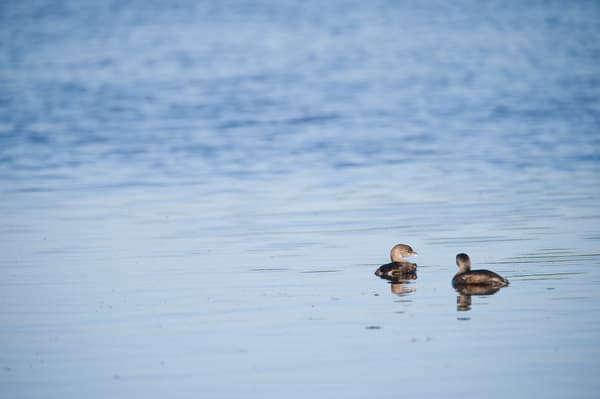 Pied-billed Grebe, Sanibel Island, Florida