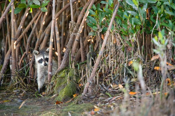 Raccoon in Mangroves, Sanibel Island, Florida