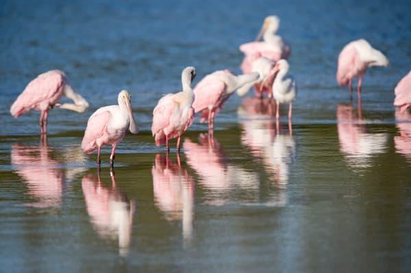 Roseate Spoonbills, Sanibel Island, Florida