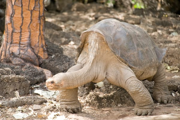 Lonesome George, Santa Cruz Island, Galapagos