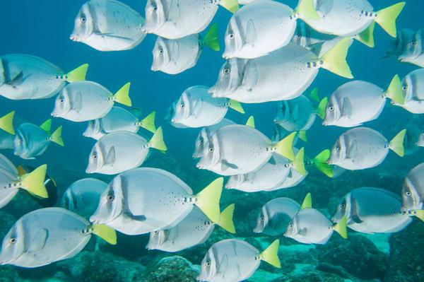 Razor Surgeonfish School, Floreana Island, Galapagos