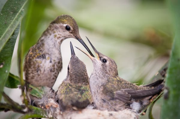 Anna's Hummingbird Chicks Feeding, La Jolla, California