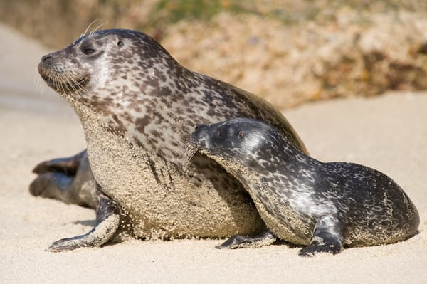 Harbor Seal & Pup Alert, La Jolla, California