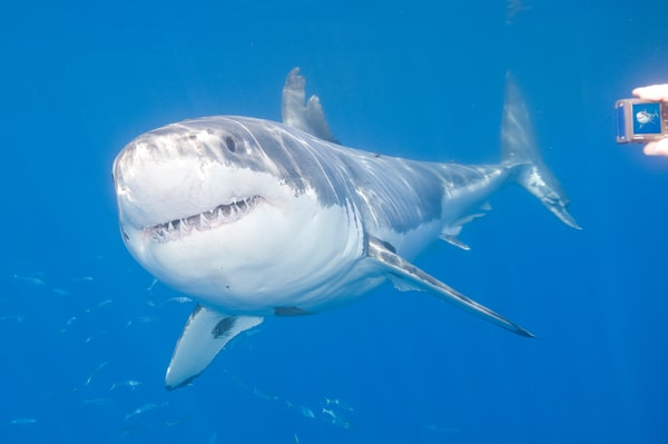 Great White Shark & Camera, Guadalupe Island, Mexico