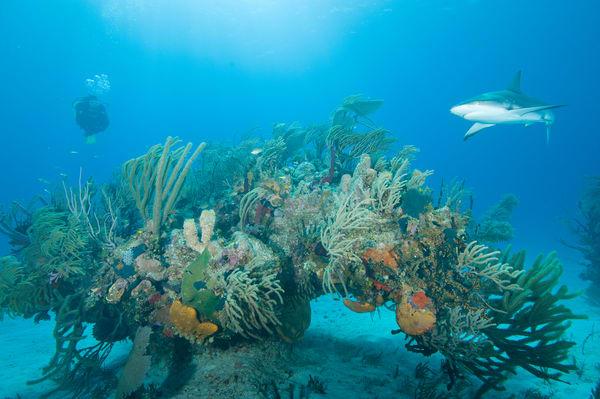 Caribbean Reef Shark & Diver, Grand Bahama Island