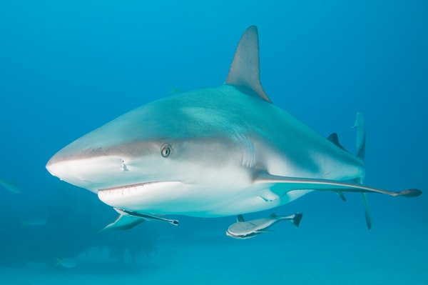 Caribbean Reef Shark, Grand Bahama Island