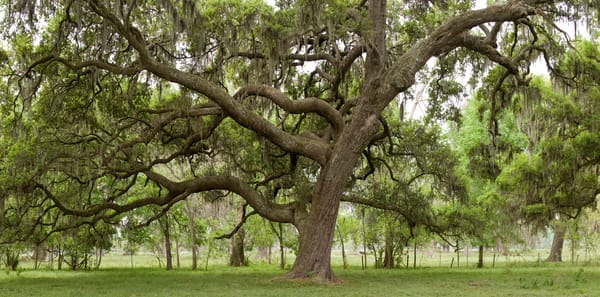 Live Oak Tree Pano, Damon, Texas