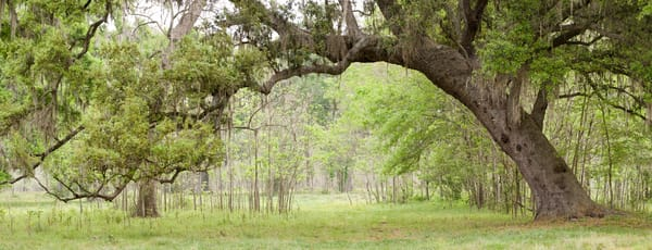 Live Oak Tree Arch, Damon, Texas