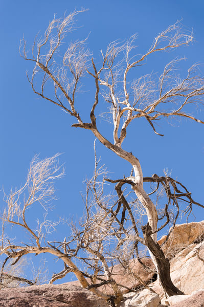 Leafless Tree, Guadalupe Canyon, Mexico