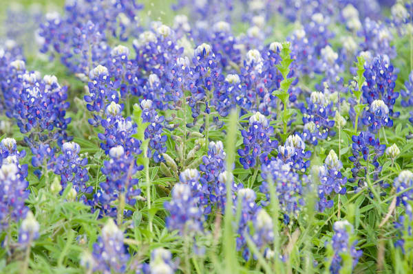 Bluebonnets, Damon, Texas