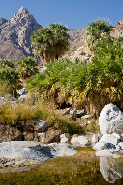 Palm Tree Oasis, Guadalupe Canyon, Mexico