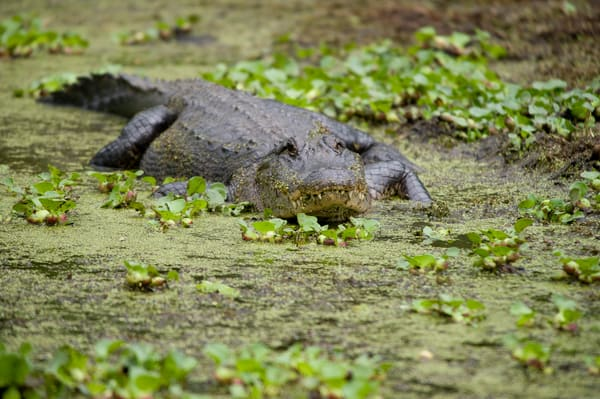 American Alligator, Damon, Texas