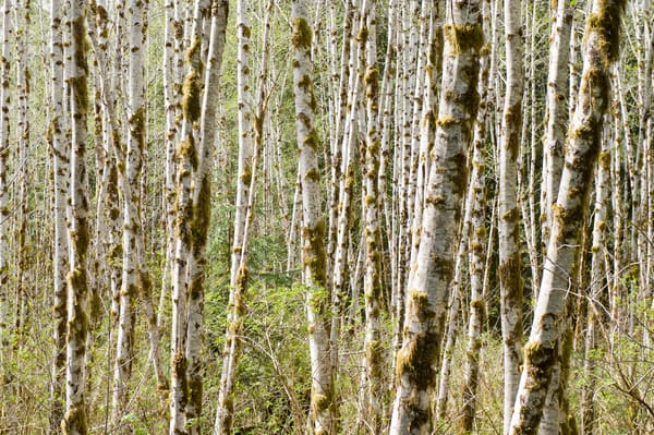 White Alder Trees, Quinault Rain Forest, Washington
