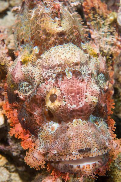 Tassled Scorpionfish, Anilao, Philippines