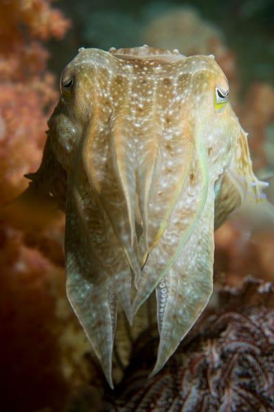 Reef Cuttlefish, Anilao, Philippines