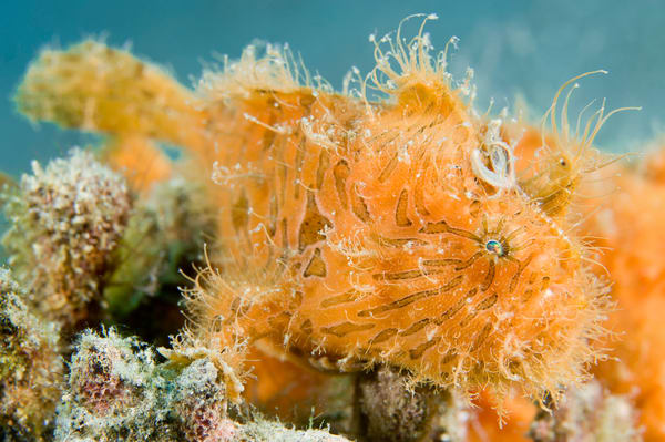 Hairy Striped Frogfish, Anilao, Philippines