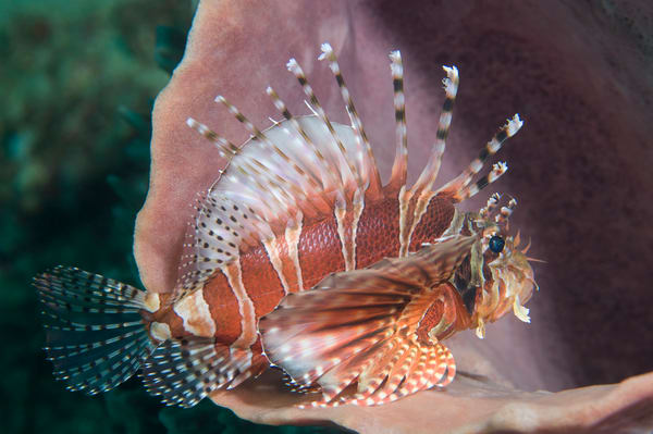 Zebra Lionfish, Anilao, Philippines
