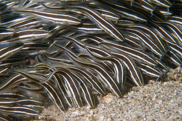 Striped Catfish School, Anilao, Philippines