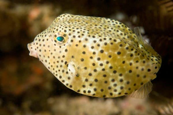 Yellow Boxfish, Anilao, Philippines