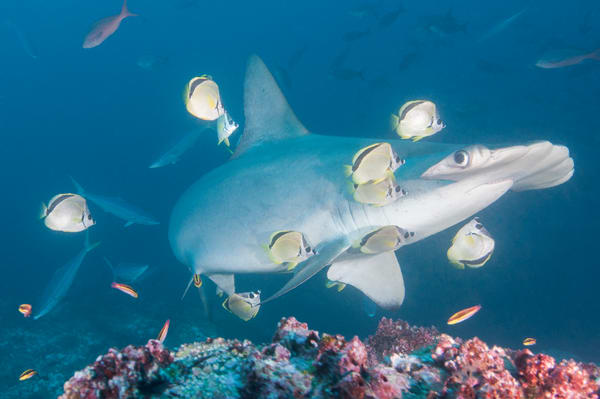 Scalloped Hammerhead Shark Cleaning Station, Cocos Island, Costa Rica