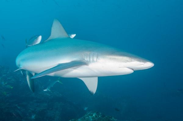 Galapagos Shark, Cocos Island, Costa Rica